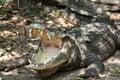Basking crocodile Royalty Free Stock Photo