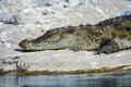 Basking crocodile a on some river rocks Royalty Free Stock Photos