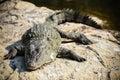 Basking crocodile a on some river rocks Royalty Free Stock Photo