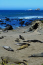 Basking Elephant Seals, Pacific Coast, near Morro Bay, California, USA Royalty Free Stock Photo