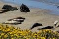 Basking elephant seals pacific coast near morro bay california usa between monterey Royalty Free Stock Photo