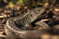 Basking Sand Lizard (Lacerta agilis) in the Bark Mulch Royalty Free Stock Photo