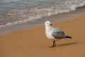 Basking seagull on beach picture of Royalty Free Stock Photography