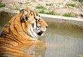 Basking tiger siberian in summer Royalty Free Stock Images