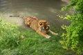 Basking tiger siberian in summer Royalty Free Stock Photos