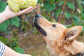 Basque sheepherd dog smelling some grapes portrait Royalty Free Stock Photos