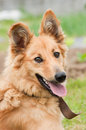 Basque shepherd dog portrait beautiful pet Stock Image