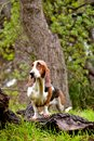 Basset hound Stock Photography