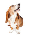 Basset Hound Dog Looking Up Mouth Open Royalty Free Stock Photo