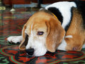 Basset Hound Dog so sad Royalty Free Stock Photo