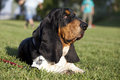 Basset hound having a rest on the grass Stock Photos