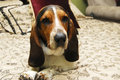 Basset Hound Portrait Royalty Free Stock Photos