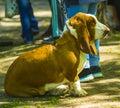 Basset hound portrait of a purebred basset artesien basset hou Royalty Free Stock Photo