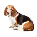 Basset Hound Profile Sad Look Royalty Free Stock Photo