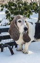 Basset hound is a short legged breed of dog of the family Stock Photo