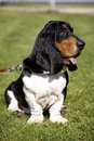 Basset hound sit on the grass Royalty Free Stock Photo