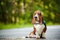 Basset hound sitting Stock Photography