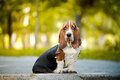 Basset hound sitting Stock Photos