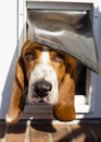 Basset hound sticking head through dog door looking straight ahead Royalty Free Stock Images