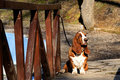 Basset hound on wooden bridge Stock Images