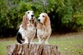 Basset hounds Royalty Free Stock Photos