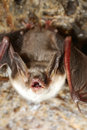 Bat  with bared teeth Stock Photos