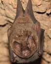 Bat from Bolivia Royalty Free Stock Photography