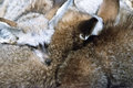 Bat-eared fox Royalty Free Stock Photography