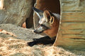 The bat eared fox is a canid of african savanna named for its large ears Royalty Free Stock Photos