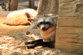 The bat eared fox is a canid of african savanna named for its large ears Stock Photos