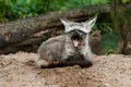 The bat eared fox otocyon megalotis is a canid of african savanna named for its large ears fossil records show this canid to Stock Images