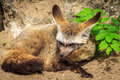 Bat eared fox otocyon megalotis lying on the ground Stock Photo
