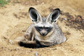 Bat eared fox the otocyon megalotis lying on a ground Royalty Free Stock Photo
