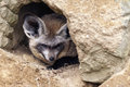 Bat eared fox the otocyon megalotis lying on a ground Stock Photography