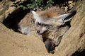 Bat eared fox portrait of a Royalty Free Stock Photos