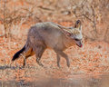 Bat-eared Fox Royalty Free Stock Photo
