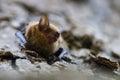 Bat Fangs Royalty Free Stock Photo