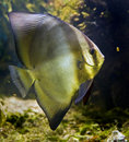 Bat fish 1 Stock Photography