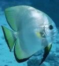 Bat fish Royalty Free Stock Photo