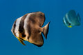 Bat fish portrait Royalty Free Stock Photo
