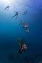 Bat fish schooling batfish under sunbeam in bali diving paradise Stock Photography
