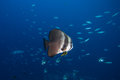 Bat fish Royalty Free Stock Photo