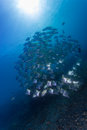 Bat fish and sun beam schooling batfish under sunbeam in bali diving paradise Stock Images