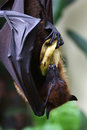 Bat hanging on the tree eating bananna lyle s flying fox upside down Royalty Free Stock Image