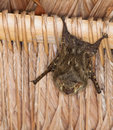 A bat on a hut´s roof Royalty Free Stock Image