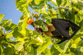 Bat in love a fruit pursuing true only maldives Royalty Free Stock Image