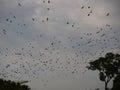 Bat migration largest mammal in the world straw coloured fruit bats eidolon helvum in kasanka national park in zambia Royalty Free Stock Image
