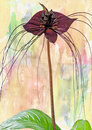 Bat plant black flower or tacca chantrieri grow wild in the tropical forest can grow to inches across with long whiskers Stock Images