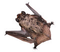 Bat sits Stock Photo