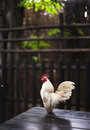 Batam bantam rooster on a bench Stock Image